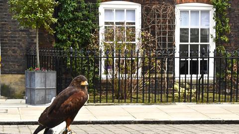 Hawk in Lincoln's Inn